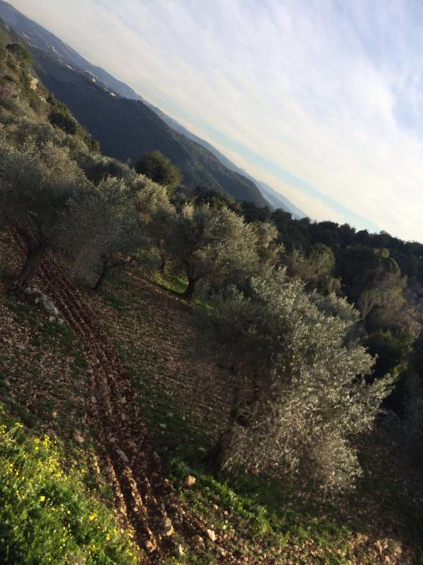 Olive groves photo by patricia Vivian