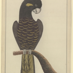Calyptorhynchus funereus    (Yellow-Tailed Black Cockatoos)
