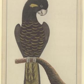 Calyptorhynchus funereus    (Yellow-Tailed BlackCockatoos)