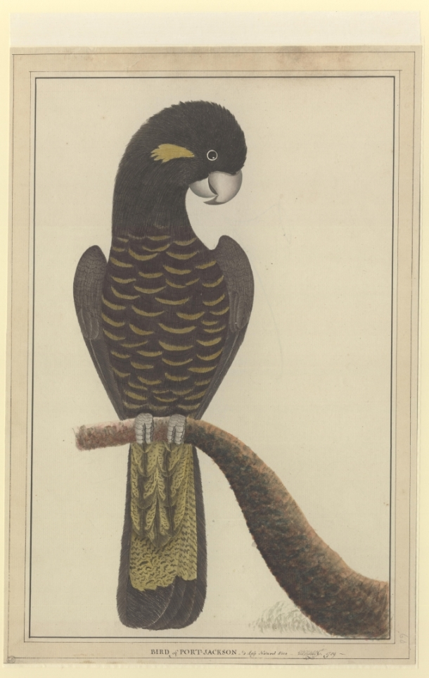 A painting by George Raper (1769-1797) Watercolour, 1789 from The Natural History Museum, London.