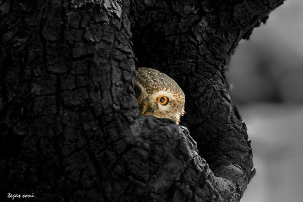 """Peeping Tom""-spotted owlet by Tejas Soni http://500px.com/TejasSoni"