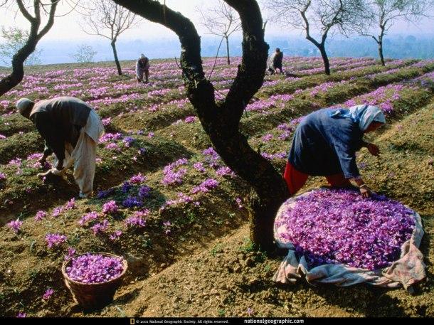 saffron-field-527149-lw